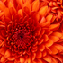 20160204163249-chrysanthemum