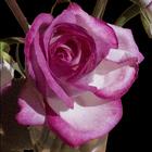20160218215825-pink_rose