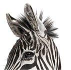 20121004070831-andrew-zuckerman-zebra