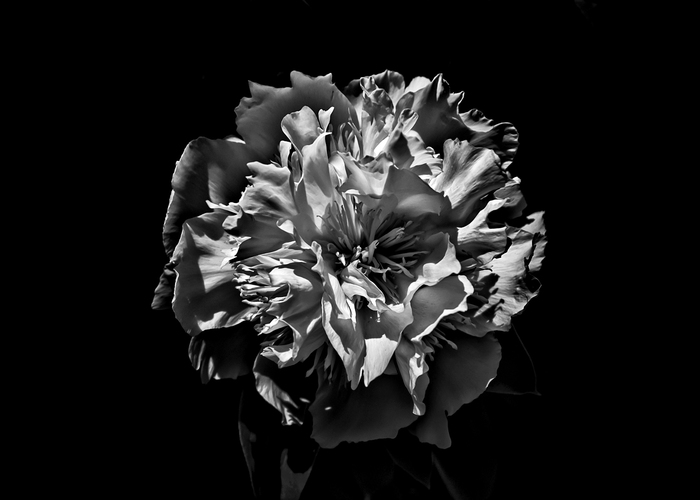 Backyard Flowers In Black And White No 3