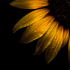 20160927121837-backyard_flowers_28_sunflower_4x5