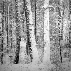 Untitled (Large Snowy Forest)