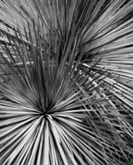Yuccas,