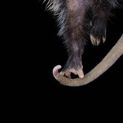 Possum Paw, Kimberly Witham
