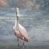 Spoonbill_i