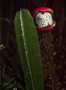 Peruvian_apple_cactus_fruit