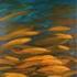 Running_red_fish