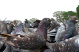"Untitled #6628, from the series ""Pigeons"" , Alis Cummings"