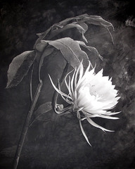 Queen of the Night (Night Blooming Cereus), 1998, Cy DeCosse