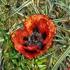 Poppy_001