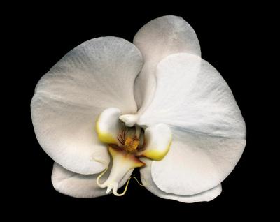Phalaenopsis_5_1024w