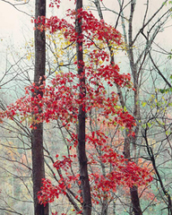 Susquehanna Maple, Pennsylvania, Christopher Burkett