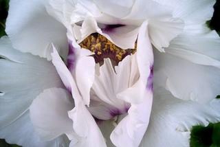 Botanic White, Laurel Hollis