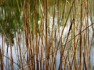 Reeds, Roz Meyer