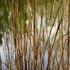 Roz-reeds-for-web