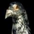 Garn_pigeon_head_004