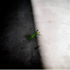 Sexual Castration & Alterity (Praying Mantis), Calvin Lee
