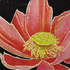 _salmonlotus8x8x300dpi_copy