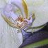 Debra_kayata_orchid_intense_preservation_