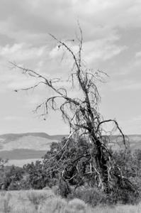Pine_canyon_26