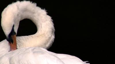 Swan5