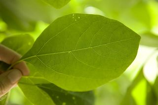 Every leaf 0339, Aspen Mays
