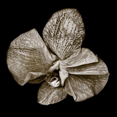 Phalaenopsis_3
