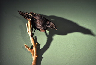 Crow, Liz Young