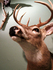 Deer_1
