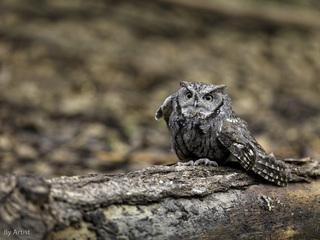 Owl, Oliver Klink