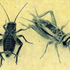 Crickets_paulus