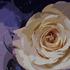 One_rose1_600
