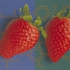 Altered_strawberries