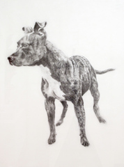 American Pit Bull Terrier, Patrick Marcoux