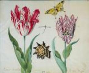 Two tulips a butterfly and a shell, Jacob Marrel