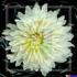 Web_whiteflower