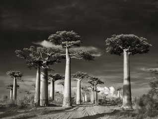 Avenue of the Baobabs, 2006, Beth Moon