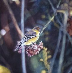 Goldfinch V ,Diane Andrews Hall