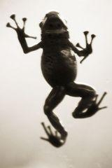 Azure Dart Frog—Dendrobates ezureus , Henry Horenstein