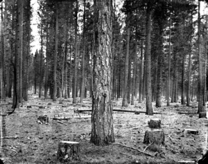 Shasta_national_forest_
