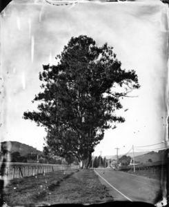 Giant_eucalyptus_
