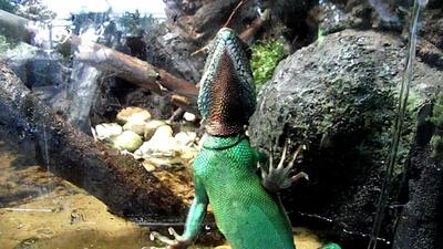 Green_water_dragon_5
