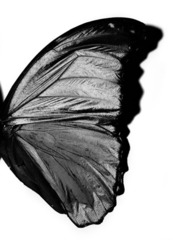Butterfly Wing, Michael Thompson