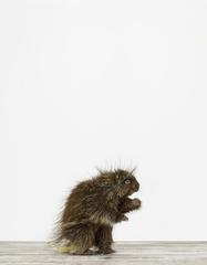 Porcupine, Sharon Montrose