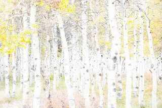 Spotted Aspens, Lundy Canyon, Michael Frye