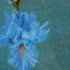Light_blue_iris