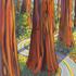 20101012232452-redwood2