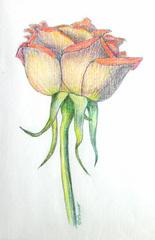 Orange Rose, Marsha Peruo