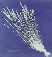 Festuca grasses from \'British and Foreign Flowering Plants and Ferns, Anna Atkins