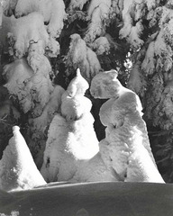 Evergreen Trees at -51 Degrees Mt. Tremblant, Canada, 1944, Alfred Eisenstaedt